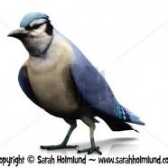 A bluejay bird on white background